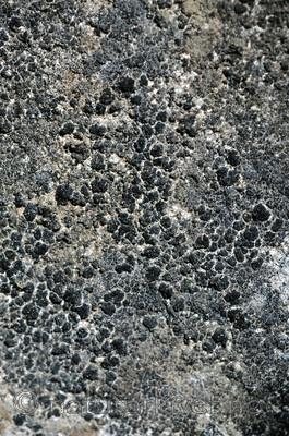 SIR_5892 / Anema nummularium