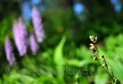 SIR_6002 / Ophrys insectifera / Flueblom