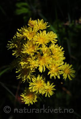 SIR_6025 / Crepis praemorsa / Enghaukeskjegg