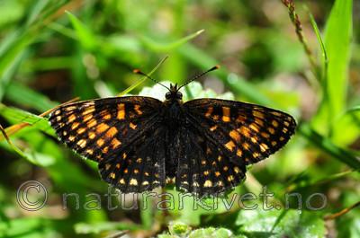 SIR_6191 / Melitaea diamina / Mørk rutevinge