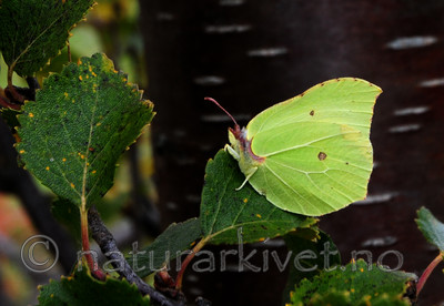 SIR_7490 / Gonepteryx rhamni / Sitronsommerfugl