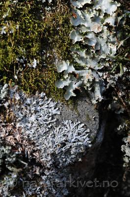 SIR_9125 / Cetrelia olivetorum / Praktlav <br /> Heterodermia speciosa / Elfenbenslav