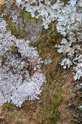 SIR_9131 / Cetrelia olivetorum / Praktlav <br /> Heterodermia speciosa / Elfenbenslav