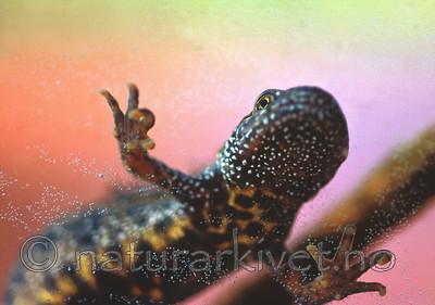 SR0058 / Triturus cristatus / Storsalamander