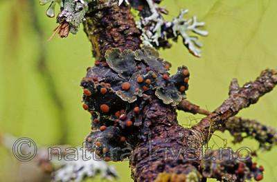 SR0336 / Austrella arachnoidea <br /> Erioderma pedicellatum / Trønderlav