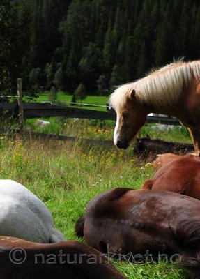 SR0_0200 / Equus caballus / Hest