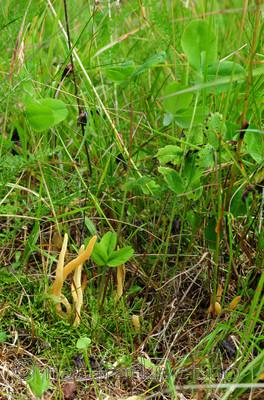 SR0_0530 / Clavaria amoenoides / Vridd køllesopp