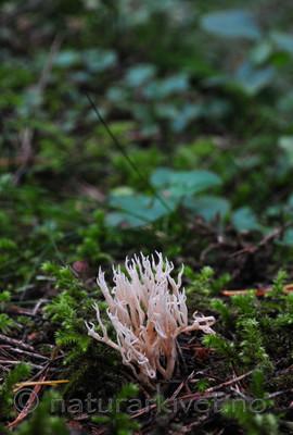 SR0_0660 / Ramaria gracilis / Duftkorallsopp