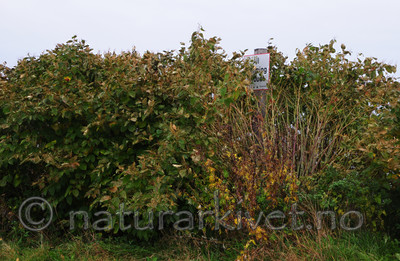 SR0_1196 / Reynoutria japonica / Parkslirekne