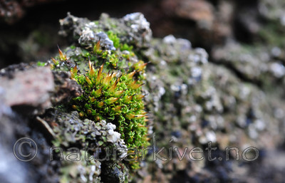 SR0_1327 / Encalypta vulgaris / Småklokkemose