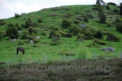 SR0_2695 / Equus caballus / Hest