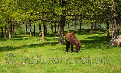 SR0_2720 / Equus caballus / Hest