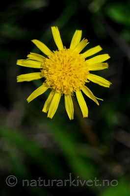 SR0_2876 / Scorzonera humilis / Griseblad