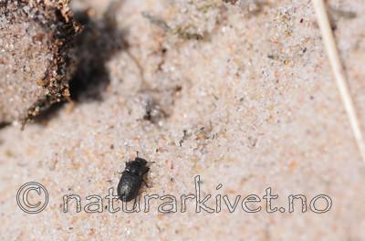 SR0_3211 / Melanimon tibialis