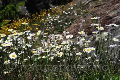 SR0_3495 / Leucanthemum vulgare / Prestekrage