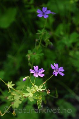 SR0_3815 / Geranium pyrenaicum / Askerstorkenebb