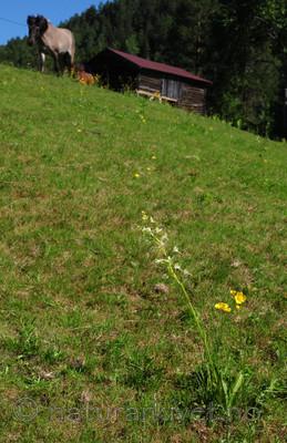 SR0_3875 / Platanthera bifolia / Nattfiol