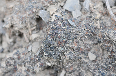 SR0_7204 / Enchylium limosum / Leirglye