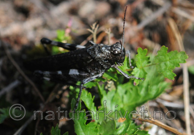 SR0_8129 / Psophus stridulus / Klapregresshoppe <br /> Triphragmium filipendulae / Knollmjødurtrust
