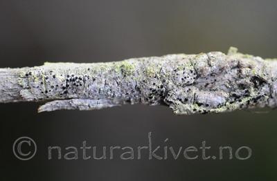 SR0_8466 / Bactrospora brodoi / Taigabendellav