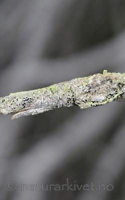 SR0_8473 / Bactrospora brodoi / Taigabendellav