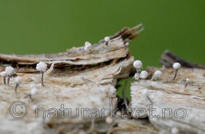 _SRE0211 / Sclerophora peronella / Kystdoggnål