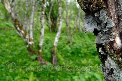 _SRE0244 / Lobaria scrobiculata / Skrubbenever