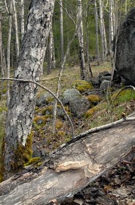_SRE2617 / Funalia trogii / Hårkjuke <br /> Populus tremula / Osp