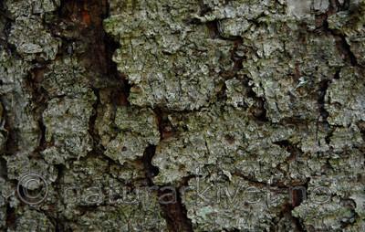 _SRE3175 / Bactrospora corticola / Granbendellav