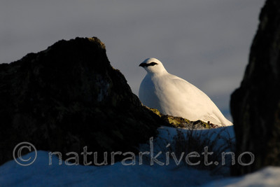 _SRE6353 / Lagopus muta / Fjellrype