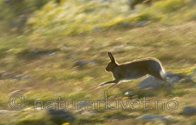 _SRE7072 / Lepus timidus / Hare