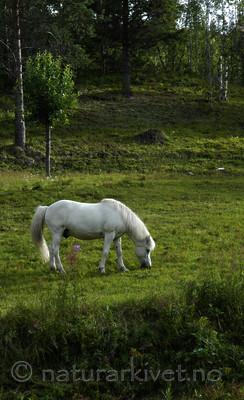 _SRE8567 / Equus caballus / Hest