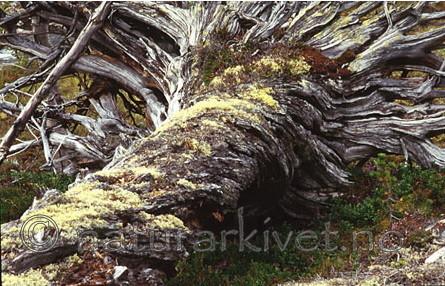 bb030 / Pinus sylvestris / Furu