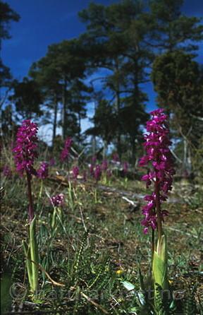 bb062 / Orchis mascula / Vårmarihand