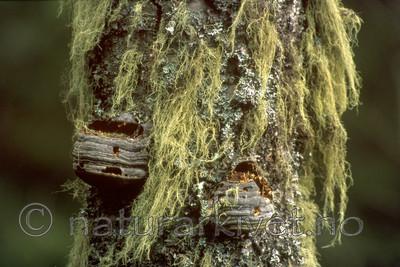 bb068 / Betula pendula / Hengebjørk <br /> Fomes fomentarius / Knuskkjuke <br /> Hypogymnia physodes / Vanlig kvistlav