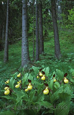 bb070 / Cypripedium calceolus / Marisko <br /> Picea abies / Gran