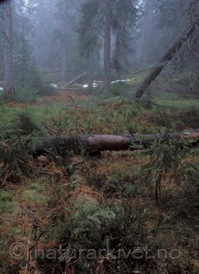 bb071 / Picea abies / Gran