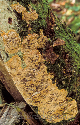 bb117 / Inonotus nodulosus / Bøkebrunkjuke