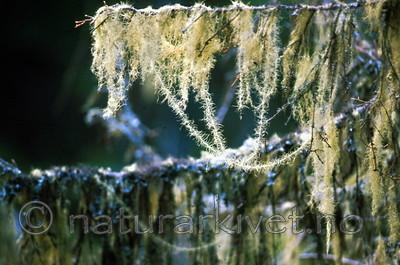bb185 / Usnea longissima / Huldrestry