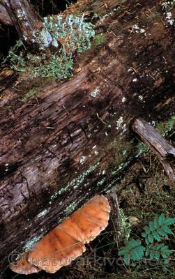 bb196 / Amylocystis lapponica / Lappkjuke