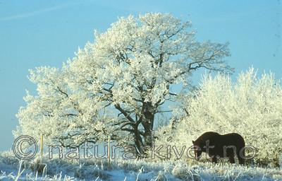 bb215 / Quercus robur / Sommereik