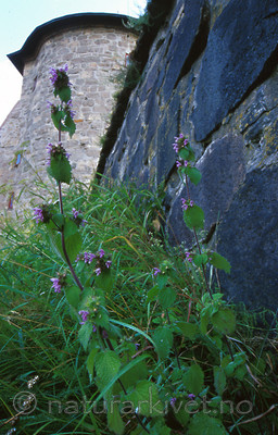 bb242 / Ballota nigra nigra / Tunhunderot
