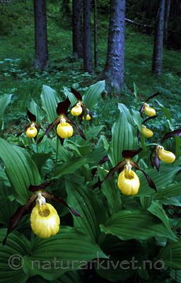 bb350 / Cypripedium calceolus / Marisko <br /> Picea abies / Gran