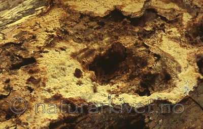 bb411 / Phlebia nitidula / Seljevoksskinn