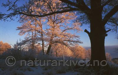 bb497 / Quercus robur / Sommereik