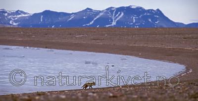bb546 / Vulpes lagopus / Fjellrev
