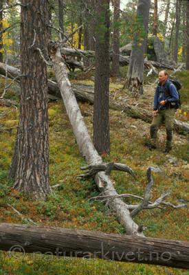 bb553 / Pinus sylvestris / Furu