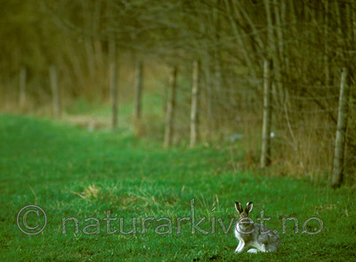 bb555 / Lepus timidus / Hare