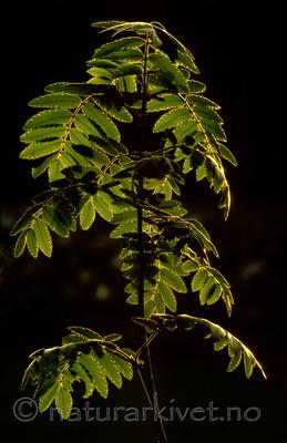 bb584 / Sorbus aucuparia / Rogn
