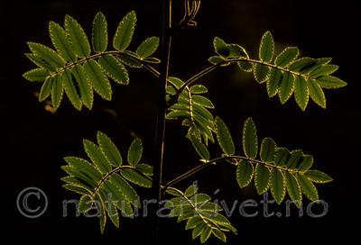 bb585 / Sorbus aucuparia / Rogn